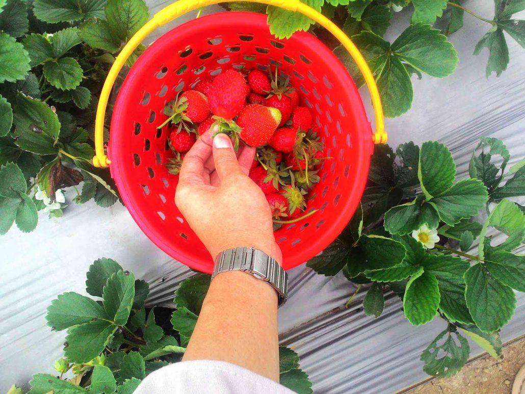 Sembalun Strawberry